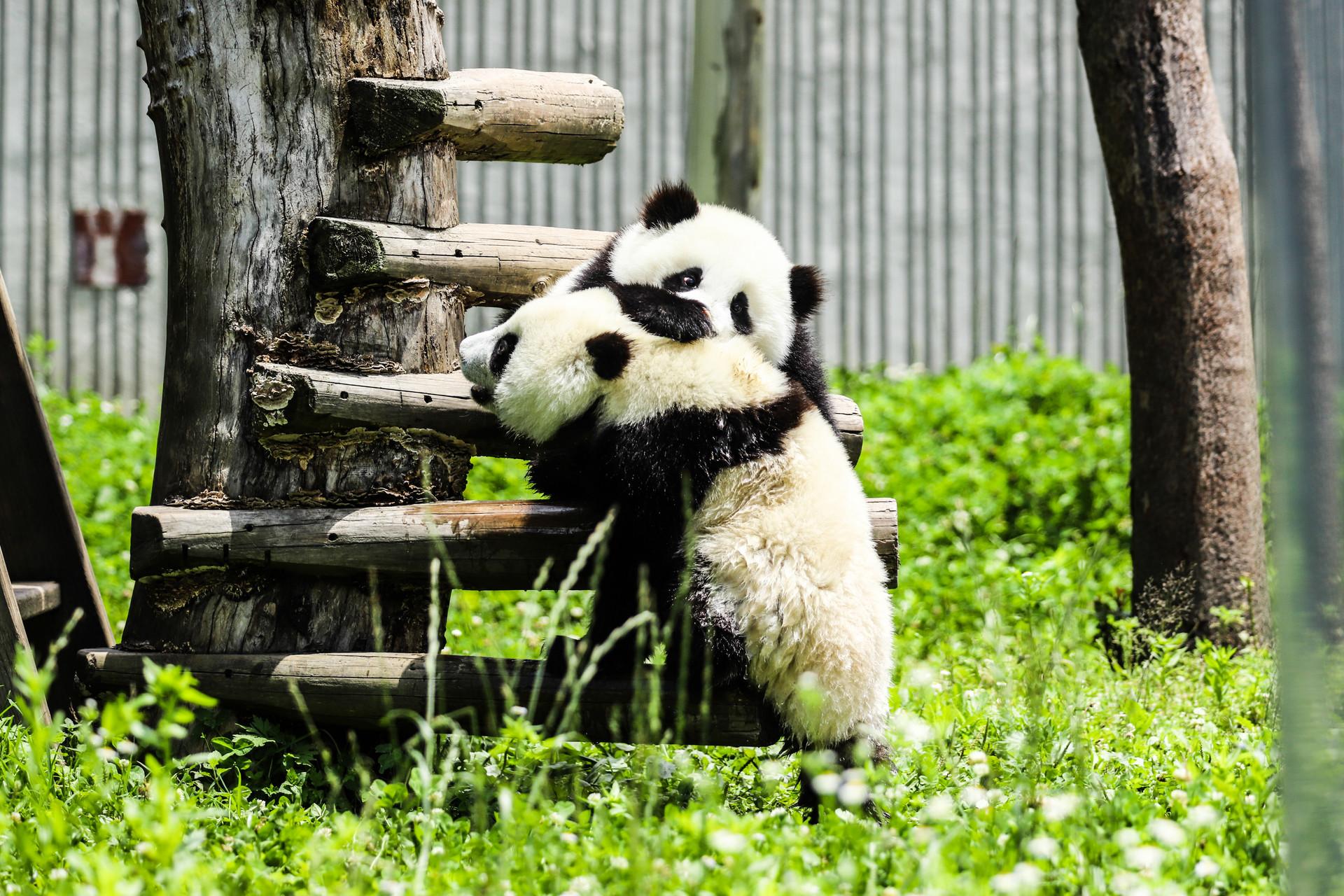 中国国宝大熊猫玩耍(企业商用).jpg